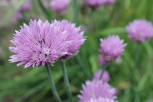 Chive flower 3