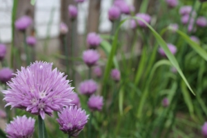 Chive flowers 1
