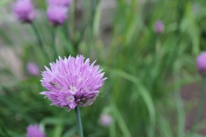 Chive flowers 2