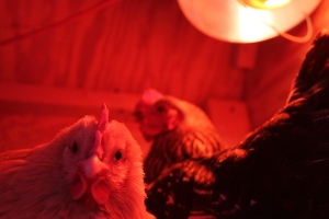 Chickens under the heat lamp