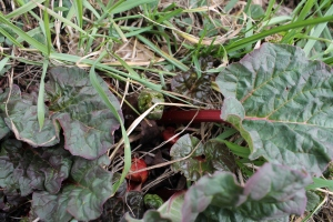 Rhubarb growing