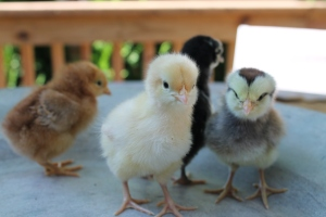 Our 4 new chicks at just 2 days old!